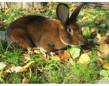 Кролики кастор-рекс