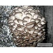 міцелій грибів
