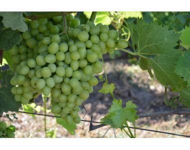 Аркадия виноград продам оптом