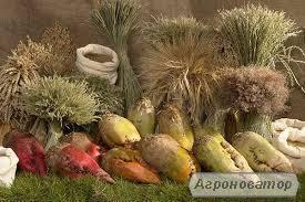 Продам насіння кормового буряку