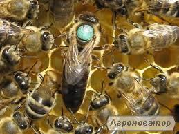 Продам бджолопакети, Закарпатська обл