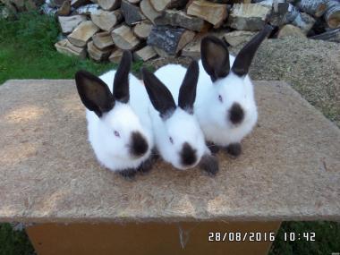 Кролики м'ясних порід Каліфорнійський