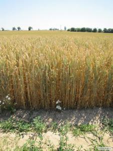 Семян чешской яровой пшеницы сорт Аранка. 1 репродукция