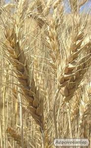 Насіння чеської ярої пшениці сорт Аранка. 1 репродукція
