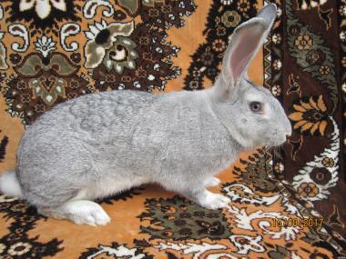Порода кролів  - Радянська Шиншила