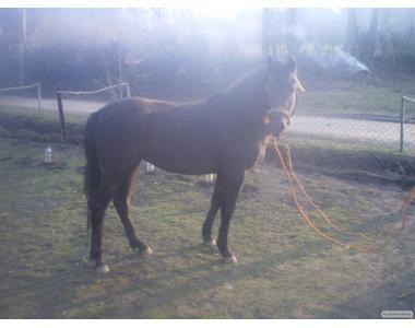 Продам срочно молодую рабочую лошадь в возрасте 2.5 лет