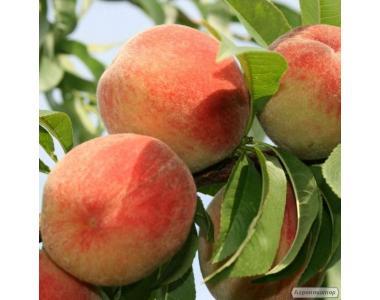 Саженцы персика сорта Виргил Т-4, от производителя