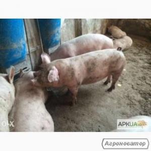 Продам свиней живою вагою на постійній основі зі свиноферми, Дніпроп