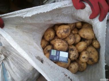 Картоплю оптом сорт Рів'єра насіннєва від прямого постачальника