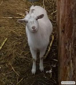 Продається вагітна коза