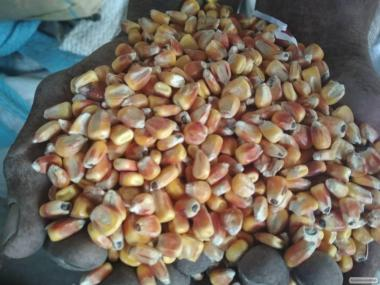 Продам кукурудза