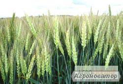 Семена пшеницы озимой - сорт Золотоколосая. Элита и 1 репродукция