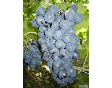 Саджанці винограду сорт Рішельє