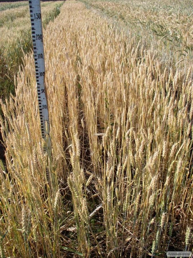 Семена пшеницы  озимой - сорт Овидий. Элита и 1 репродукция