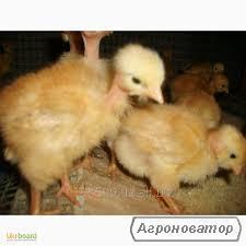 Суточные и подрощенные мясо-яичные цыплята Голошейка,Мастер Грей