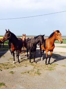 Продажа лошадей Украинской Верховой породы