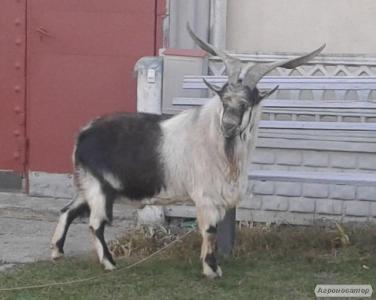 Альпійський козел для злучки кіз