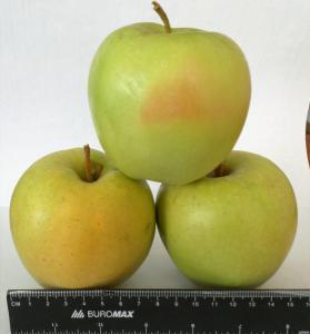 Підприємство реалізує яблука з холодильника