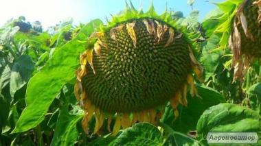 семена подсолнечника по оптовым ценам