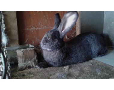Фландр(Бельгійський велетень) - кролики самої великої м'ясної породи