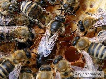 Пчеломатки карпатской породы