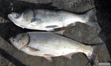 Продам живу рибу (білий товстолобик) навіс 1,200-1,500 т. 0665060710