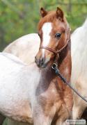 кінь Спірит