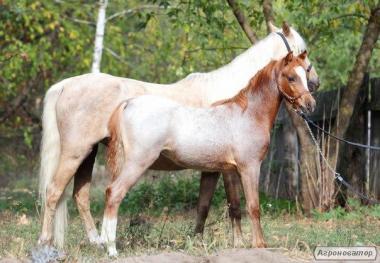 уэльский пони Спирит
