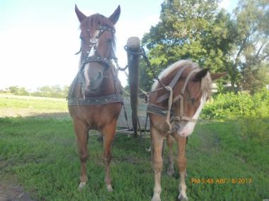 продам кобылу и лошадь