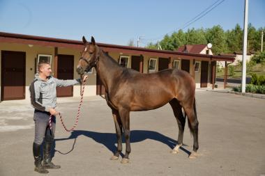 Продается лошадь. Гнедая кобыла, Тракененская порода