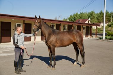 Продається кінь. Гніда кобила, порода Тракененская