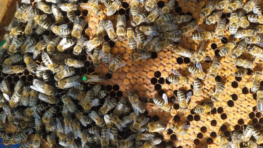 Купить пчеломатку Карника ( CARNICA),Плодные меченые матки из Австрии