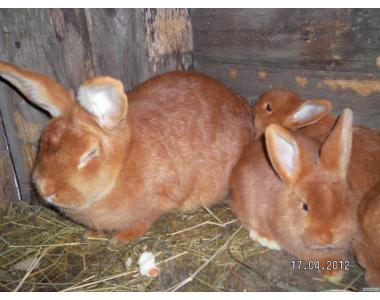 кролики таких пород:новозеландская красная