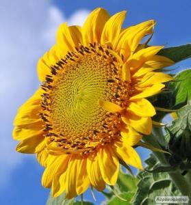Семена подсолнечника Laboulet-іноземнас селекция