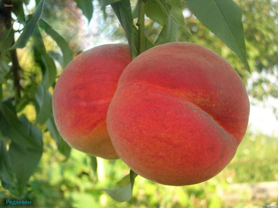 Саджанці персика РедХевен