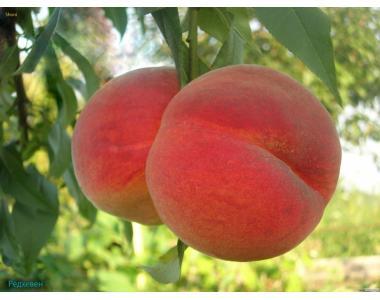 Саженцы персика РедХевен