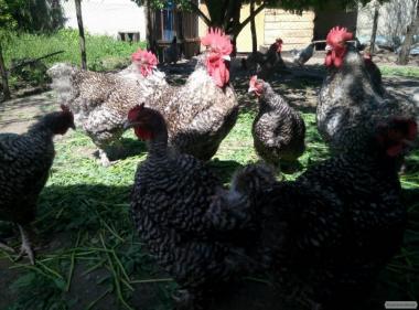 Орпингтоны, мехеленские кукушки