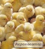 Бройлери КОББ-500, РОСС-308, РОСС-708