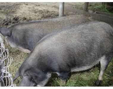 свиньи мангалы