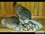 перепелиные яйца, мясо