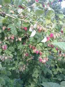 Саджанці малини сорт – Ляшка.