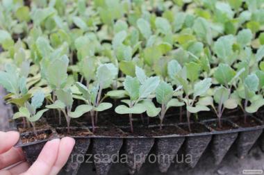 Продам рассаду капусты: ранняя, средняя, поздняя, цветная и т.д.