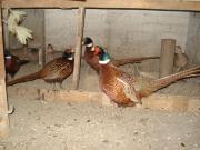 Інкубаційне яйце  миливських фазанів