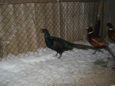 Инкубационное яйцо фазанов миливських