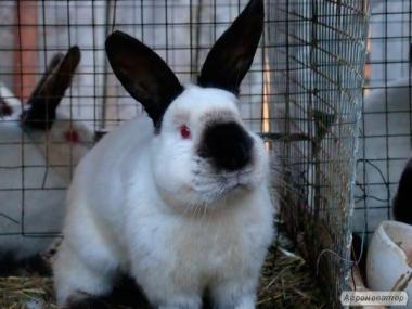 Кролики и крольчихи калифорнийской породы