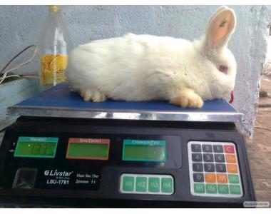 Продам кроликов Новозеландских белых