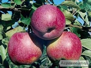 Саджанці яблунь (різні сорти) (однорічні та дворічні)