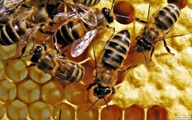 Продам пчелопакеты в Винницкой области
