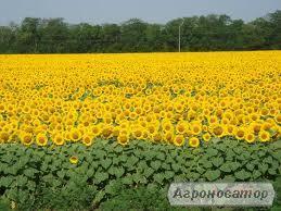 Ясон семена подсолнечника