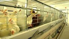 Кліткове обладнання для вирощування батьківського стада курей-несучок